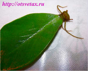 листовое укоренение