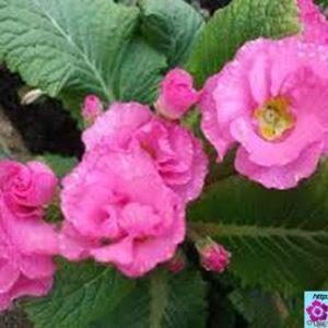 Эстафета садовой примулы: цветение с апреля по август