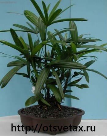 выращивание пальм +из семян