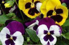 Как вырастить цветы анютины глазки на дачном участке