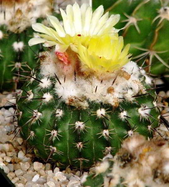 Wigginsia-corynodes-foto
