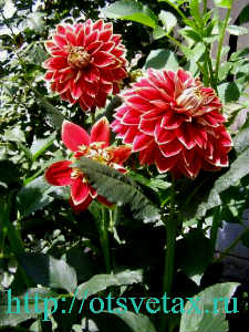 садовые георгины