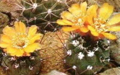 Вейнгартия фидайана: описание кактуса, условия содержания