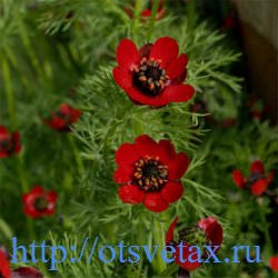 адонис цветок фото