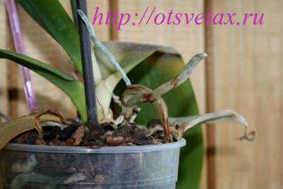 Почему у орхидеи воздушные корни сохнут