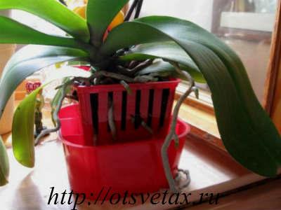 сохнут воздушные корни у орхидеи