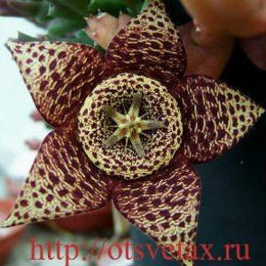 Комнатные цветы стапелия