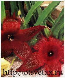 цветок стапелия