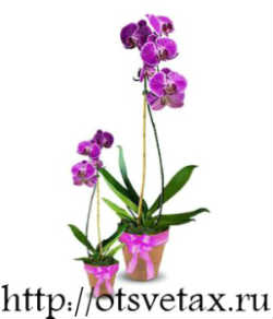подкормка орхидей фаленопсис