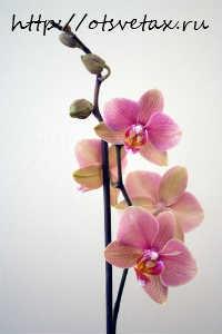 подкормка цветущих орхидей