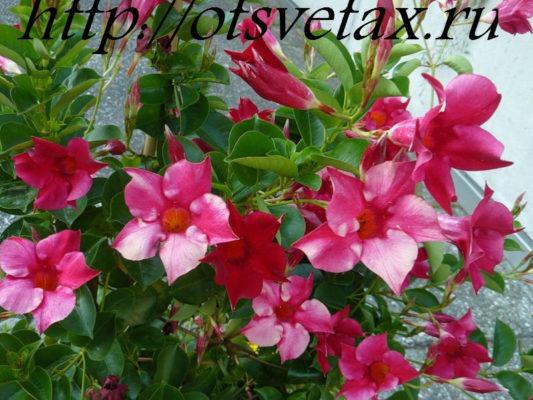 комнатные цветущие лианы