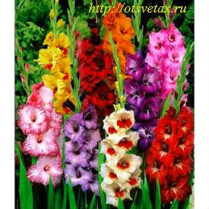 садовые цветы гладиолусы фото