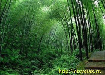 вырастить бамбук