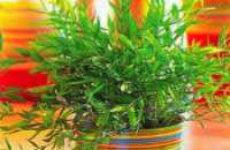 Как вырастить комнатный бамбук