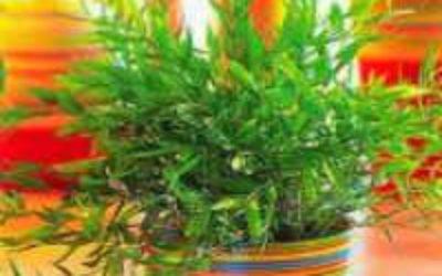 вырастить комнатный бамбук фото
