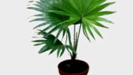 Комнатное растение вашингтония