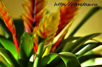 комнатные растения вриезия микс