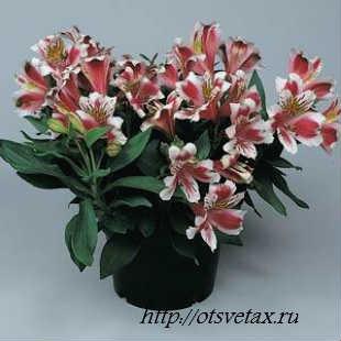 цветок альстромерия фото