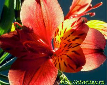 цветы альстромерия уход