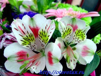 цветы альстромерия выращивание