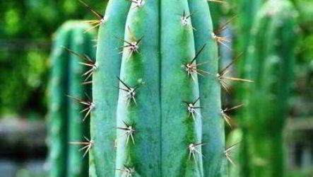 Растение трихоцереус хуаска родина, описание, уход