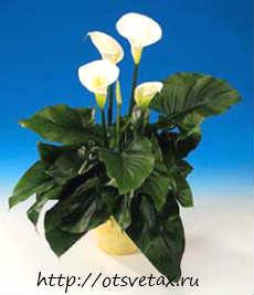растение зантедесхия