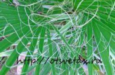 Комнатное растение вашингтония нитеносная