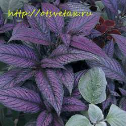 растение стробилантес