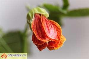 цветок комнатный абутилон