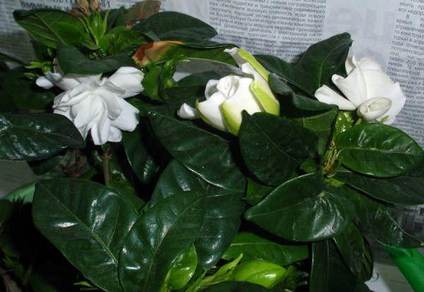 комнатные цветы гардения