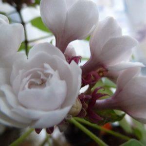 Растение с уникальным ароматом