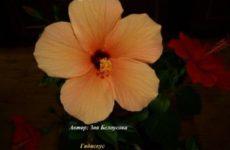 Гибискус — китайская роза в фотоконкурсе «Цветы в моём доме»