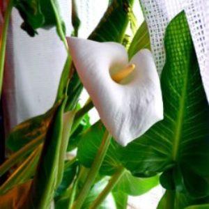 Домашние цветы каллы