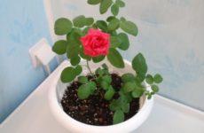 Великолепный цветок роза комнатная