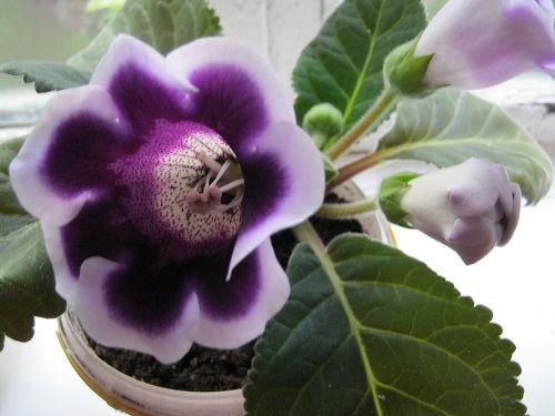 цветы глоксиния