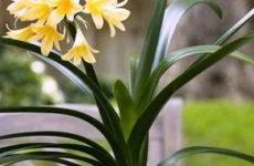 Кливия — комнатная красавица в фотоконкурсе «Цветы в моем доме»