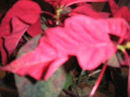 лист рождественнского цветка