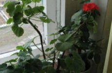Цветущие домашние растения