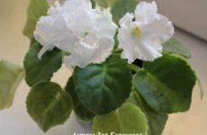 Секреты красоты комнатных фиалок открыт на фотоконкурсе «Цветы в моём доме»