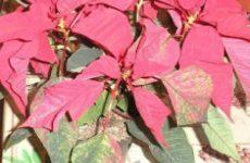 Цветок пуансетия или рождественская звезда