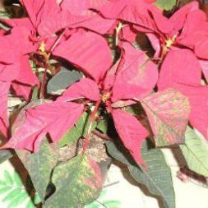 Цветок пуансетия — рождественская звезда на фото конкурсе «Цветы в моем доме»