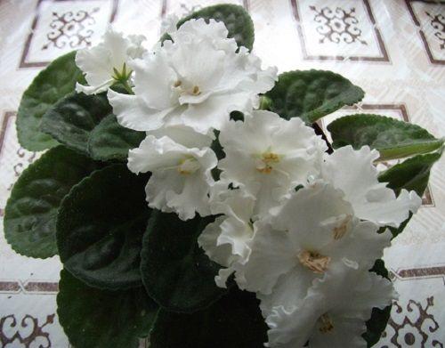 цветы фиалки фото