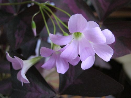 цветы кислица уход