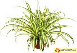 Chlorophytum Mandaianum