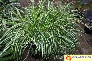 Chlorophytum Vittatum