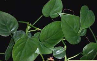 филодендрон в домашних условиях