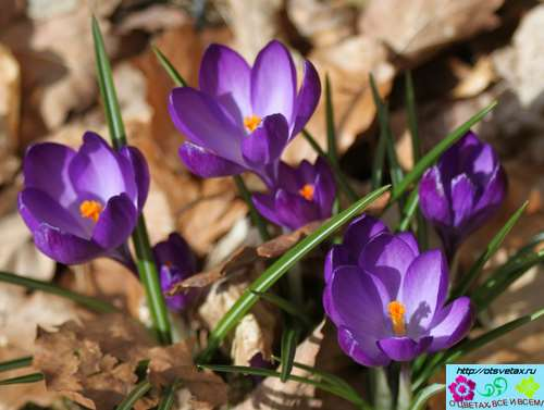 крокусы цветы