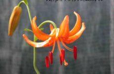 Лилия — цветок для выращивания дома и в саду