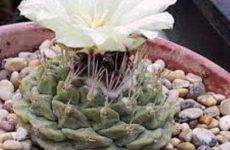 Стромбокактус дисциформис: родина, описание, уход