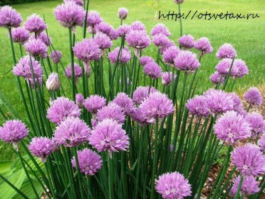 Allium_schoenoprasum